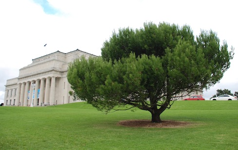 The lone Gallipoli pine